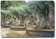 Пальмы,  цитрусовые и оливковые деревья всех форм и размеров