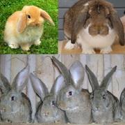 Кролики Бельгийский обр,  Фландр,  Ризен,  Баран.
