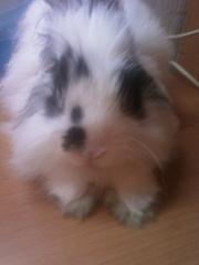 ищу крольчиху для крола