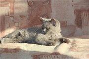 Re: Британские котята, голубого окраса (Красноярск)