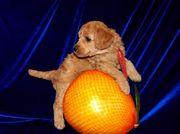 Продаются элитные щенки малого абрикосового пуделя в Иркутске