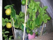 саженцы плодоносящих лимонов