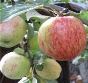 Саженцы плодовые и декоративные