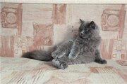 Британский котик,  голубого окраса  (Красноярск)