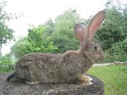 Кролики,  великаны,  гиганты Фландр,  Ризен,  Баран. Красноярск
