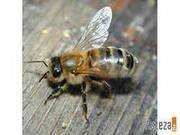 Пчелопакеты 4 рамочные