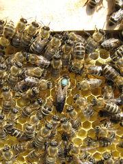 Пчелопакеты карпатка в Абакане доставка бесплатно