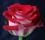 Эквадорские розы и цветы оптом к 8 марта 2015