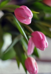 Голландские тюльпаны оптом