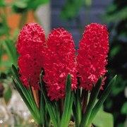 Гиацинт цветок от 1 шт.